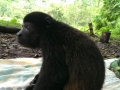 Chet the Howler Monkey