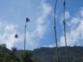 Wax Palms - Valle de La Cocora