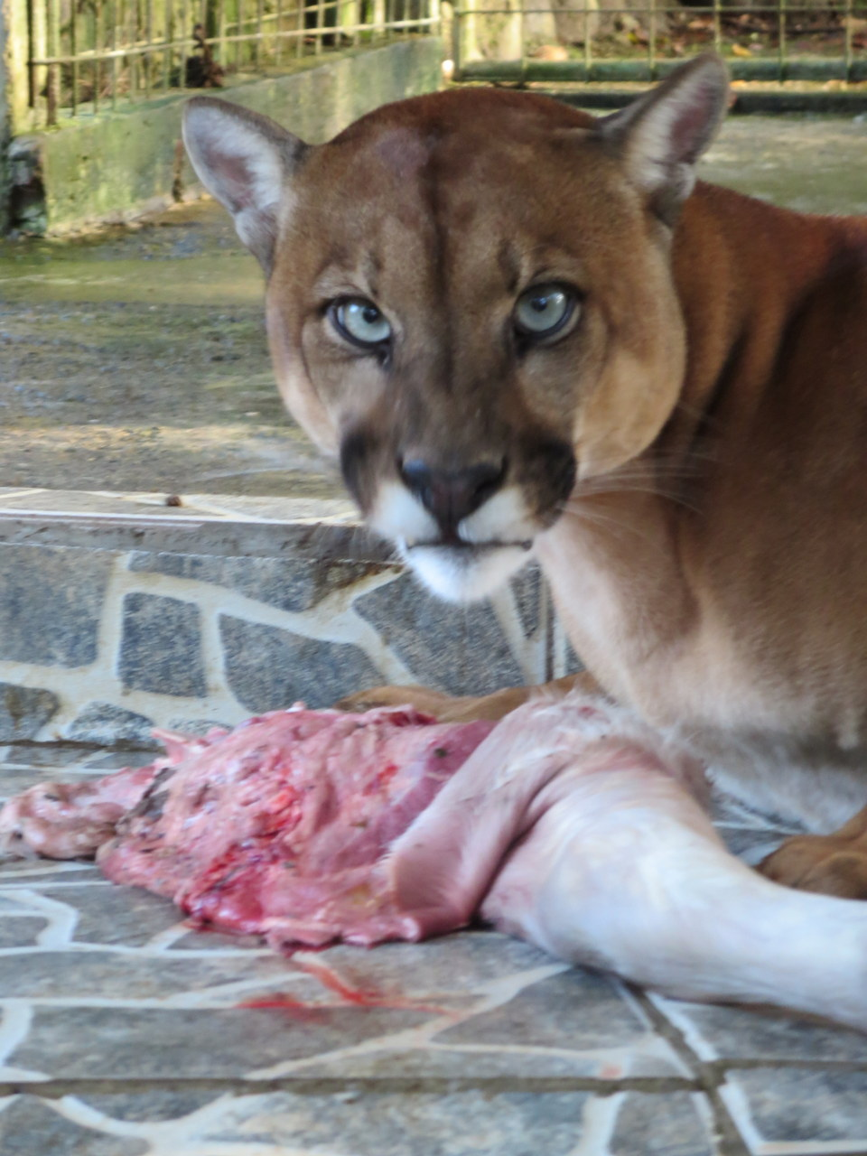 Lunchtime for Pumas